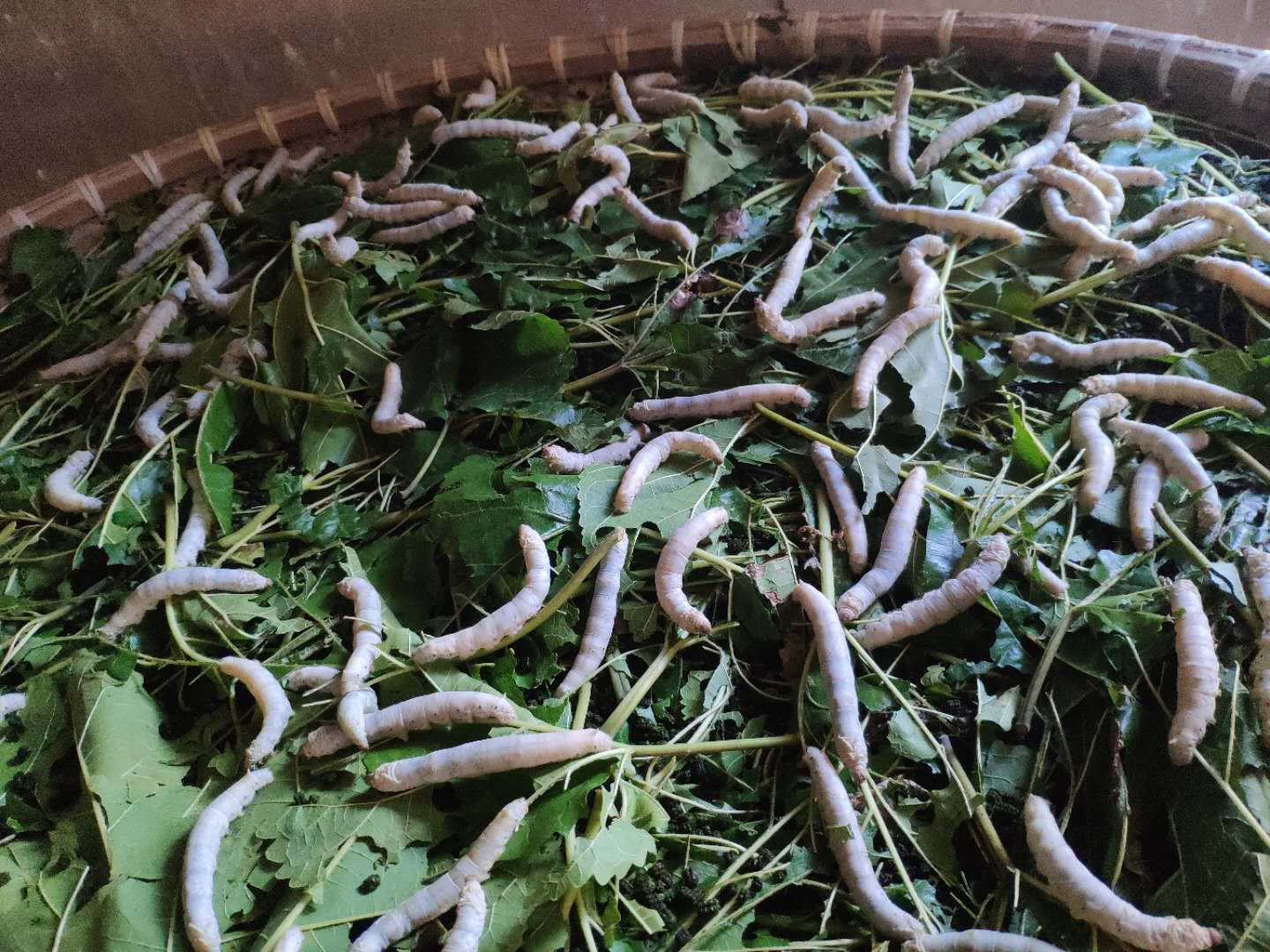 A close up of many silkworms on top of a bed of leafy greens.